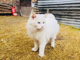 Persian cat with blues eyes for sale