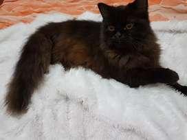 persia anggora black mix choco cowo