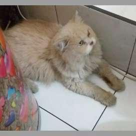 Kucing persia ganteng