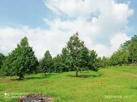 Kebun durian produktif