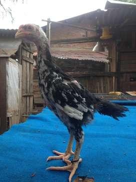 Anak ayam bnkok