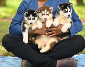 Top notch siberian husky puppies from european imported lines