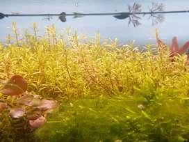 Aquarium plants: Rotala Rotundifolia