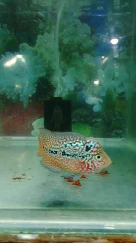 Ikan louhan kamfa ori thai maput 02