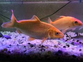 Imported Golden Shining Koi Fish 12 Inch