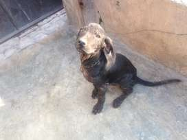 Pointer dogs of 3 months  for sale 2 dogs brown and black Rs10000each