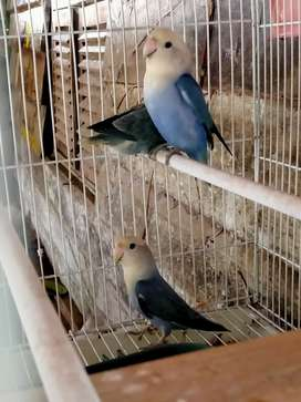 Lovebird indukan