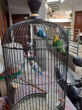 Burung lakbeutd 3 eko warna liat aja poto