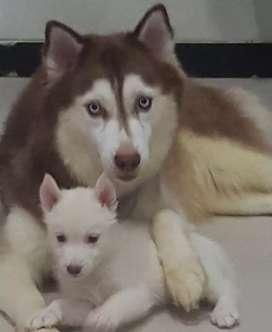 Dijual Induk Siberian Husky