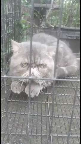 Pacak Kucing Exotic Shorthair Peaknose Ekstrem Abu-Abu
