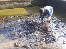 Ikan Gabus / Kutuk Konsumsi Area Jogja