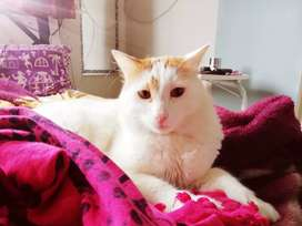One Beautiful Imported Double Bone Male Cat is Wanting for Rehoming