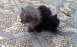 Jual anakan kucing persia
