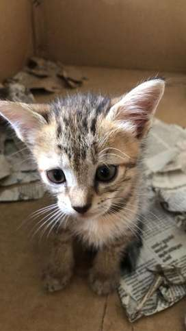 Tabby breed cats / kittens for sale
