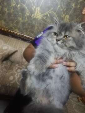 cute punch faced persian male  kitten for sale