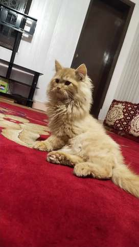 persian Triple coat kitty
