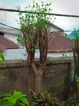Dijual Bunga Melati Jasmin 3 pohon 750 rb