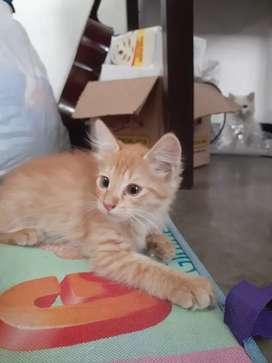 Kucing oren bar bar betina usia 2 bulan