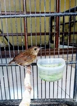 Burung jongkangan trotol