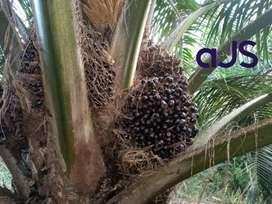 Kebun sawit-Musa, 100 Ha, Tapung, Produktif