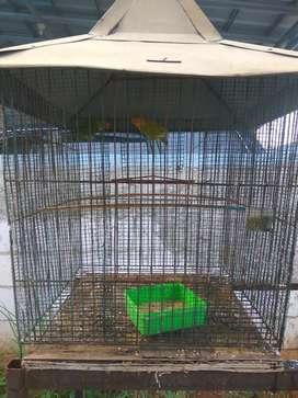 Lovebird Pasjo sepasang harga net