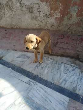 Labra pupy for sale