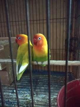 Lovebird sepasang jual cepat
