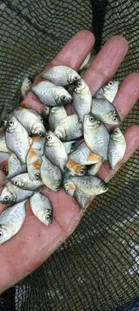 Jual bibit ikan bawal