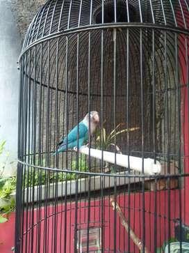 Lovebird cobalt ngekek 10-15 dtk pos burja