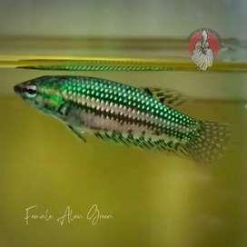 wild betta female alien green - ikan cupang alam