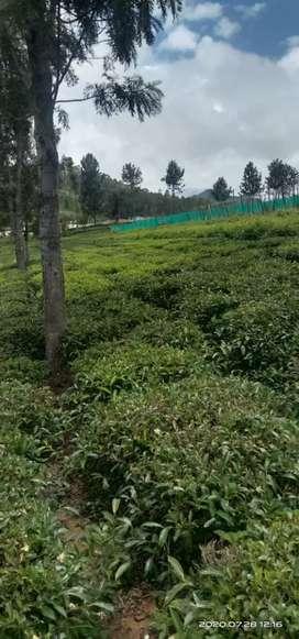 2 Acre Tea estate for Sale at Thiruchikadi