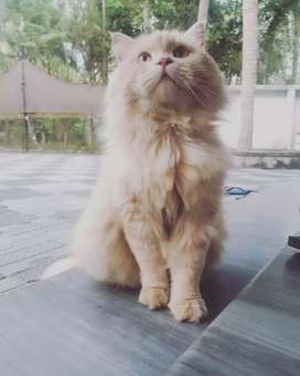 Persian cat doll face male for sale