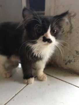 anakan kucing angora hitam putih jantan 4 bulan