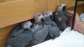 AFRICAN GRAY parrots for sale whats app number 0309- 56-47- 988