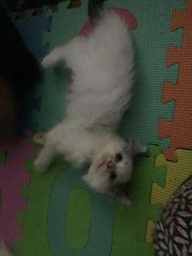 Kitten  kucing persia 3 bulan, lucu sehat mata biru