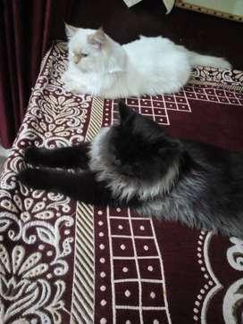 Pershan cat male