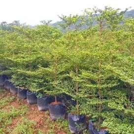 Pohon pelindung Ketapang kencana tinggi 3-meter