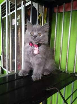 Kitten persia betina warna grey (abu-abu)  muka imut dan cantik