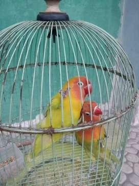 Lovebird sepasang plus kandang