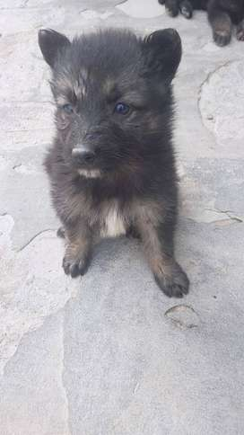 3 month old pure breed male female both German shehpherd