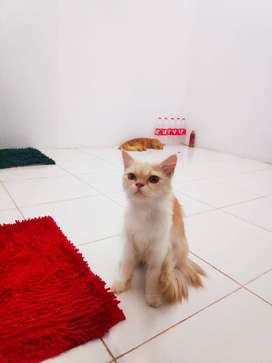 Lepas Adopt Kucing Persia Betina Usia 10 Bulan