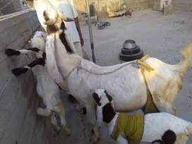 Pure gulabi Sindh goat and chiks