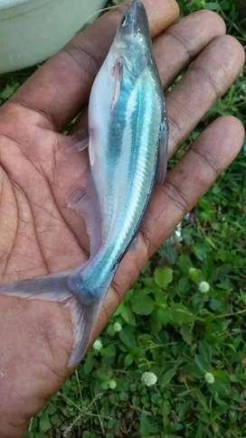 sedia bibit ikan patin ukuran 3-4 in minat wa