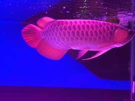Arwana Super Red 40cm up Istimewa