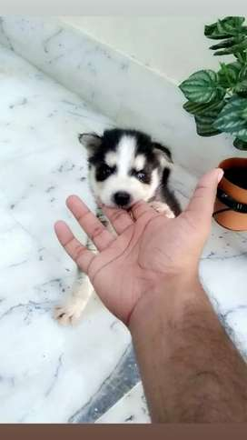 Pure husky puppy for sale