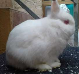 Neigherland drwf bunnies Males nd Breeder Hammaliyan Female