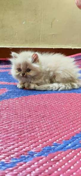Female Persian kitten