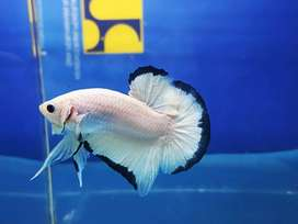 Ikan cupang blue rim line thailand jantan