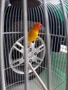 Lovebird lutino birahi