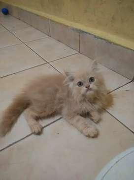Kitten persia jantan bulu super panjang dan gembul imut comel